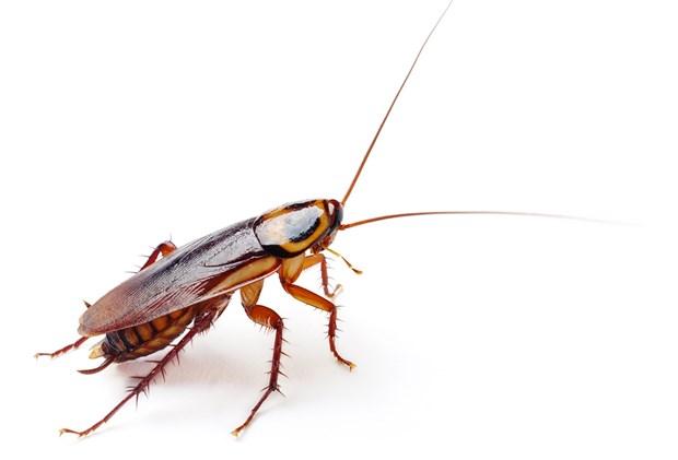 Gli scarafaggi hanno gli occhi e sono bianchi