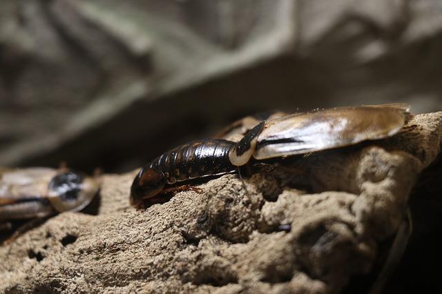 Come catturare uno scarafaggio con trappole economiche
